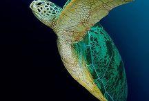 Graceful Sea Turtles