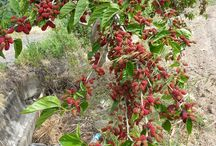 Mulberry / Mulberry Trees and Fruits
