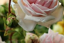 Rose Collection...a garden wish list