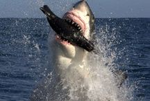 ☆●AWESOME SHARKS●☆ / This board contains pics and information on various types of sharks that our group board members posted. Comments are always welcome. I hope you enjoy this board! Charl