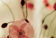 Poppies ♥ Papaver ♡ Dedal de oro