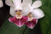 Phalaenopsis parishii & hybr
