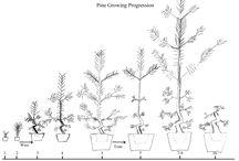Trees bonsai