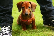 Sausage dogs / Dachshunds