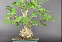 Ficus Carica B.
