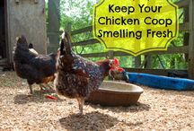 Chicken info
