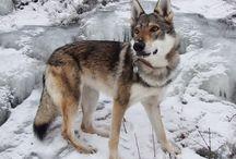 Czechoslovak wolfie