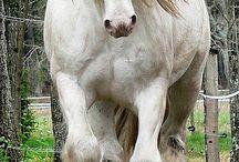 asil atlar