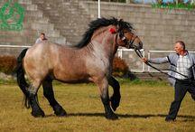 cavalli da tiro
