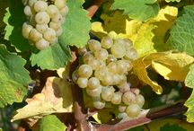 Riesling 360° / All about the King of White Grapes