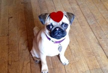 For the love of pugs