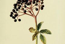 Botanica, frutos