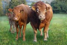 Limousin Cattle.