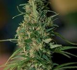 RooR cannabis seeds