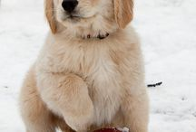 Animals  / Golden Retriever Pup ❤️