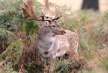 Deer breeds