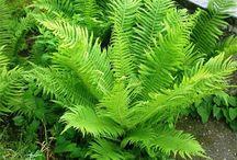 декоративные травы папоротник