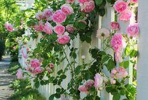 Rosen / schöne Bilder von Rosen