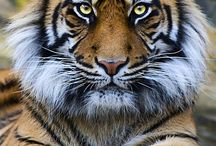 Wild animals  .Big Cats. / Big cats , most are under threat ........ Human threat.........humans the most dangerous living things on the planet........ Anyway I love big cats , stunning animals...........