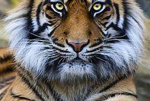 Tigers ❤️