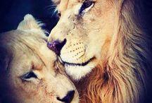 Lion / Zoo