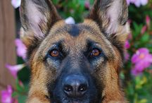#I love my German Shepherd! x