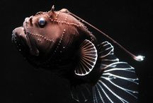 Frightening Fish / Amazing exotic deep sea fish under a new light