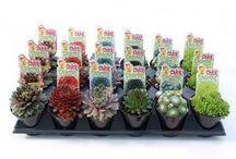 Chick Charms / Chick Charms™ brand is a collection of NEW and colorful, ultra zone 4 hardy, Hens & Chicks which have been evaluated by Chris Hansen in west Michigan