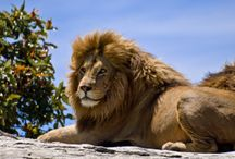 Les lions / Beau très beau