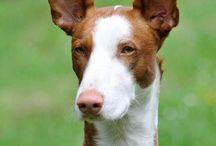 Podenco ibicenco - Ibizan hound