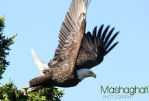 Bald Eagle / Mashaghati Photography - is taking pictures of Canadas Wildlife. See pictures, videos and more...