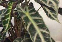 Blomsterlister - Potteplanter