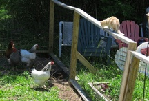 Nigerian Dwarf Goats Defend Their Yard / This cat learned never to enter the goat/chicken pen