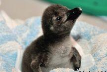 Baby penguin / Baby penguin pictures