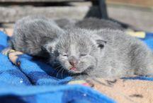Juno the Russian Blue / Russian Blue kitten