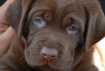 Chocolate labradors / I love chocolate Labradors so here are some pics of them