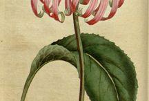 Ilustração botânica!