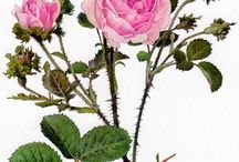 Centifolia lover