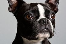 Boston Terriers / for the love of Bostons