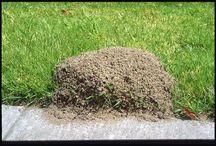 lawn pest remedies