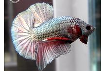Warung Betta Fish / Betta Fish
