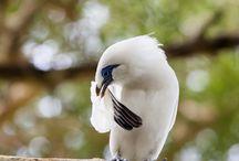 Bali Starling / Bali Starling