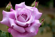 A Beautiful Rose / by Royal Rococo