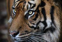 Sumatran Tiger / Tiger