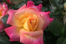 Roses / Roses that are grafted & grown on Fortuniana Rootstock by Nelson's Florida Roses.