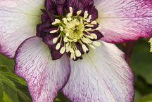 Hellebore, hellebores, winter rose
