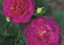 Shrub Roses / These beautiful roses features arise from the hardiest rose species and merge these features with modern repeat blooming and diverse flower forms, colors and fragrances. Depending on the rose some grow aggressively and tall, while others stay compact.