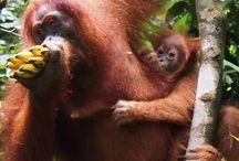 Orang utan,Sumatra / orang utan,Bukit lawang-North Sumatra