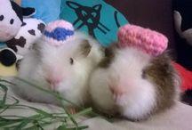 Cachou et Vanille / La vie de Cachou et Vanille, deux cochons d'inde Ch-Teddy :)