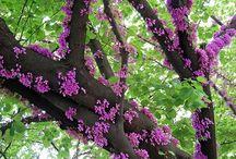 judásfa